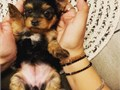 Potty trained Teacup Yorkies Available  all up to date on shots and comes with complete health pape