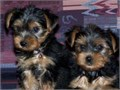 Teacup Yorkie PuppiesWe have two super male and female cute and friendly 12 weeks old  Teacup York