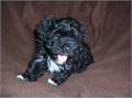 Super cute and very sweet little Havanese girl  Gorgeous soft black fur with white paws chin and