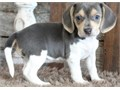 Cute and adorable Beagle Puppies for SaleCute puppies now availableThey  are very PlayfulThey  w