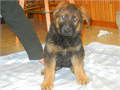 German Shepherd AKC REGISTERED   Championship bloodlines  12 weeks old  parents on sight- 600  call