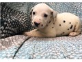 dalmatian puppiesI have two beautiful male and female dalmatian puppies available They are 10 wee