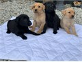 Our gorgeous Labrador has given birth to a litter of 10 beautiful pups They will come KC Registered