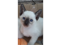 I have a gorgeous Siamese kittens available These babies are registered with TICA have taken their