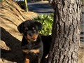 Extra Beauty Rottie Pups For further question or fast response textcall at 430 755-0504 Please