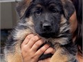 Our Von Legends Burg German Shepherd dogs have breed certification approved for