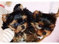 Two adorable 10 week old puppies Morkie and Yorkie looking for good and loving h
