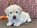 Healthy female labrador retriever with all necessary shots6 weeks old