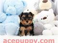 Top quality teacup Yorkie Puppies 2 months old boys and girls extremely healthy and happy great t