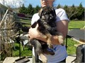 AKC German Shepherd pups Working and show lines  Top of the line direct German Import parents Hip