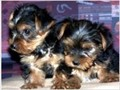 Adorable Friendly Yorkshire Terrier teacup puppies 1 male  1 female available Puppies are home