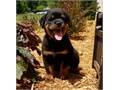 Wonderful Rottweiler Puppies for adoption These puppies are super cute They are socialized and ver