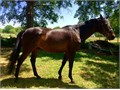 Excellent Thoroughbred horse for trails arena beginners intermediate and advanced great confirm