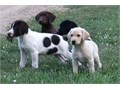 Hybrid Retriever puppies Our dogs are very smartuniqueeasy to train  they love people and are gr