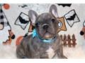 Beautiful reverse blue brindle mini boy available 4500 pet akc 4000 pet akc 2