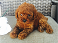 Beautiful Tiny AKC Dark Red Poodle Puppies available I have 3 boys and 1 girls left They have thei