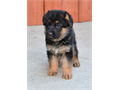 German Shepherd AKC puppies available high quality 323384-2652 323893-2379 only interested pleas
