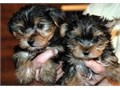 Yorkshire Terrier Puppies puppies for sale We have 3 beautiful gorgeous boys and 2 girls now ready