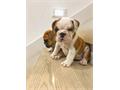 Only Two exotic Purebred English Bulldogs left available  One male and one female 8 weeks old