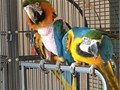 Blue and Gold Macaw2 years oldClose rungwith birth certificateComplete with large dome top