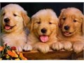 gorgeous golden retriever puppies Both girls and boys available Will have been vet checked mi