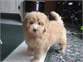 Golden Doodle Puppies for sale These babies are ready to go home with you t