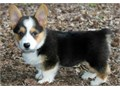 Playful Corgi pups9 weeks with shots and deworming up to datesuper friendly and social females