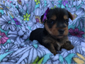 teacup yorkie pups For Sale They are hyperallergenicour website httpyorkiepups4salecomindexht