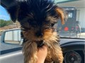 Our beautiful male and female Teacup Yorkie puppies are now ready to meet their