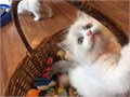 RIT HappyReg Ragdolls They Are Able To Cope With Every Day Household Noise Big Dogs Spotty Dogs