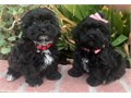 Maltipoo Puppies MaltesePoodle Mix 1 Female 1 Male 8 weeks old Puppies are