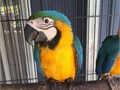 Cute and adorable Blue and Gold Macaw Well socialised handfed lovely friendly and VET CHECKED C