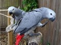Talkative male and female Congo African Grey parrots available nowThese parrots are all hand ra
