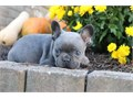 French Bulldog Puppies For Adoption We need a new and loving home for them as s