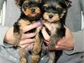 email us for more details landrymonica74gmailcomAbsolutely darling Yorkie puppies They got va