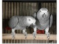 Lovely Congo African Grey Parrots Male and female currently looking for a new loving and caring fo