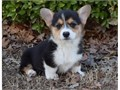 Precious Welsh Corgi Pembroke puppies Boy and Girl are available 8 weeks old Very playful and fr