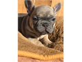 We have AKC frenchie bulldog puppies available They are vet checked current on vaccinations dewor