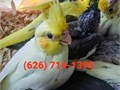 626 714-13-NINE-THREEWe have tame cockatiels to hand feedPrices start at 125The price de