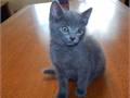 Swt Russian Blue Kitties available males and females contact for more details and pics on them now