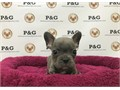 AKC American Kennel Club French BulldogThe Grand parents is ChampionsThey have strong Champi