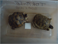 2 Three Toe Box Turtles Both females 1 I raised from a hatchling 2 years old They are about 4