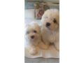 Adorable MaltiPoo Male Puppy is here Born May 516 10 weeks old with first shots Socialized and p