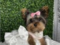 Healthy yorkie puppy for adoptionadorable baby with stunning looking eyesshots are up to datevacc