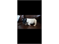 I have two french bulldog puppies for saleSex male Age  2 months Akc certified  Pros sm