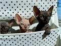Beautiful sphynx Kittens for adoption  they enjoy being around humansthey are already little train