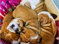 Multiple English bulldogs for sale text or call 626618 5458