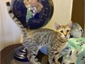 Sweet  fun Honey Brown Spotted Neutered Male 200 TICA registered Super soft coat with glitter v