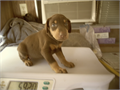 DOBERMAN PUPAKC PAPERSRED FEMALE PedigreeMicrochipShotsTaildewclaws done dewormed Ready to