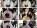 AKC Siberian husky pups for sale now taking 200 nonrefundable deposit to hold pup until pick up and
